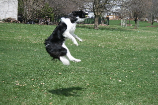 Dr. Lage's Border Collie leaping for frisbee